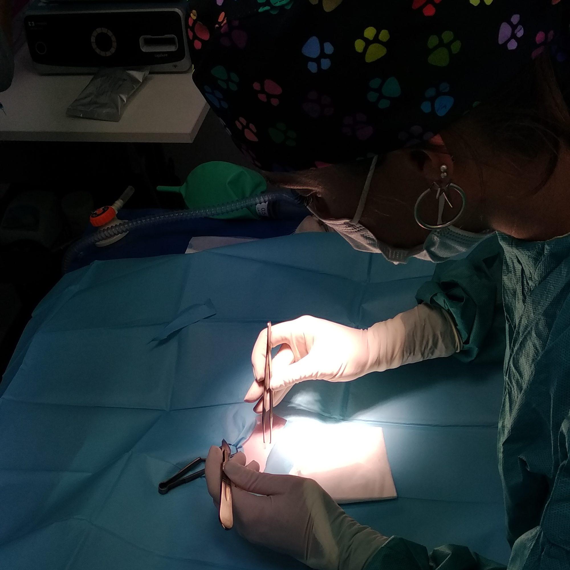 Imagen del quirófano durante una castración de una gata de 5 meses y medio de edad por nuestra veterinaria especializada en cirugía.