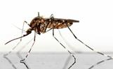 Imagen de un mosquito flebótomo