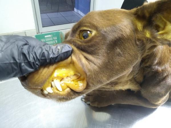 Perro con encía amarillenta por haberse contagiado de hepatitis infecciosa canina al no tener puesta vacunas para perros.