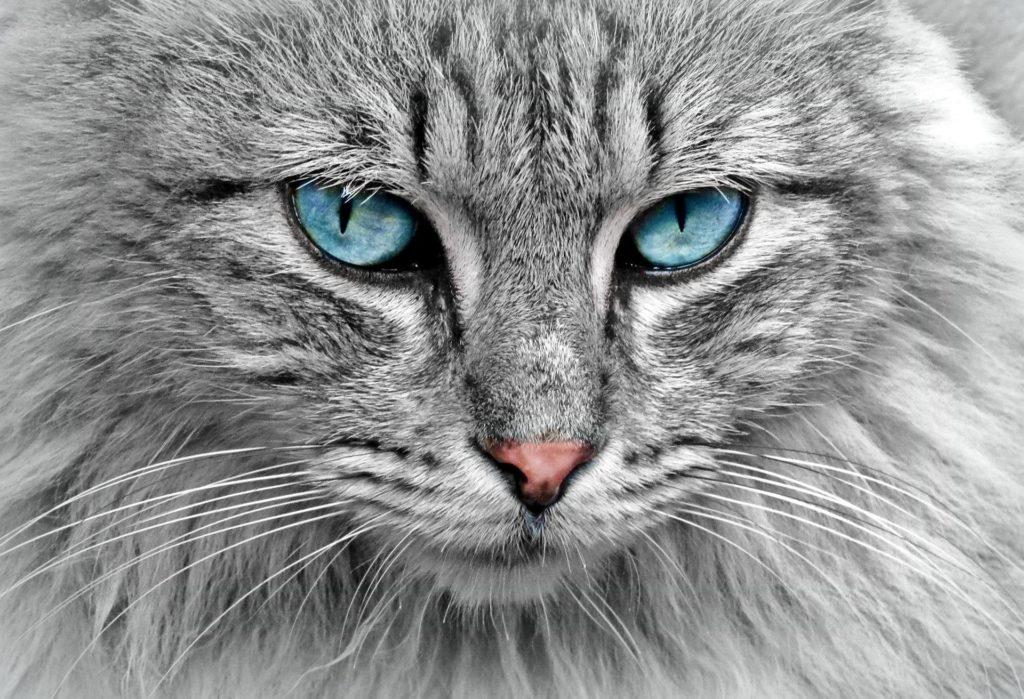 Primer plano de un gato gris con ojos azules