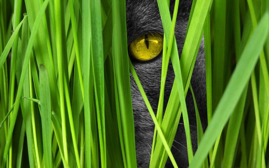 Ojo amarillo de gato entre hierbas escondiéndose