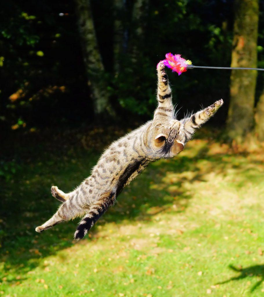 Gato saltando a cazar un juguete en un salto espectacular