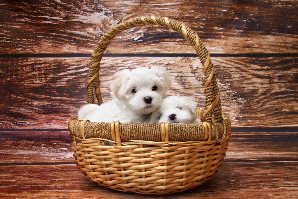 Perritos colocados en una cesta