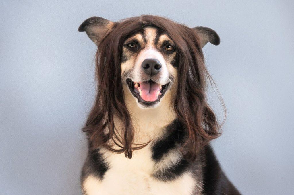 Peluquería canina: perro con peluca