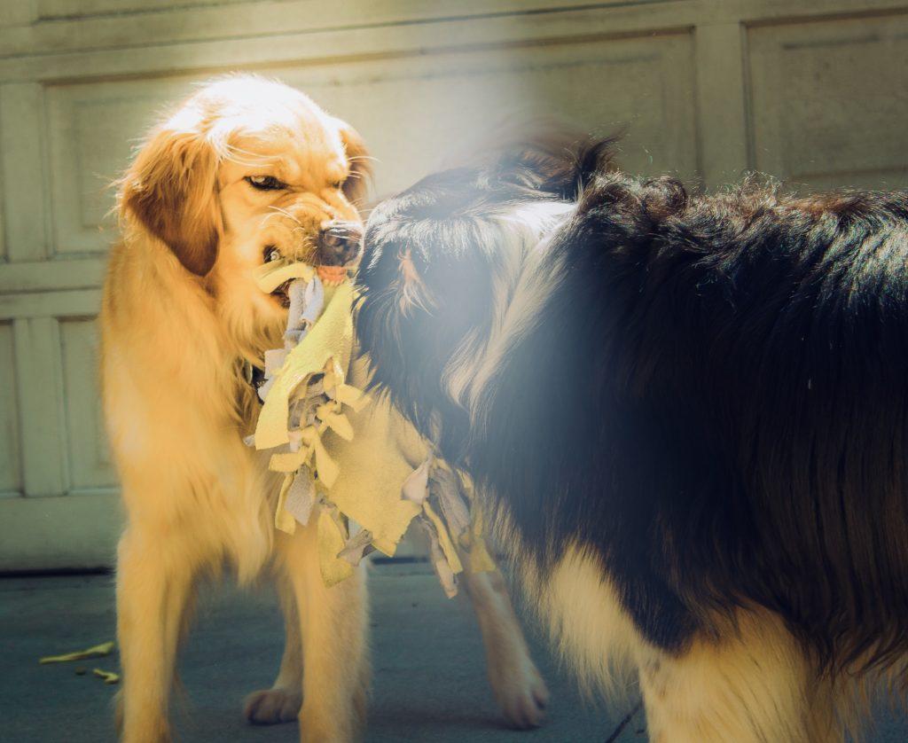 Dos perros con un juguete y se ve como uno le está gruñendo y enseñando los dientes al otro.
