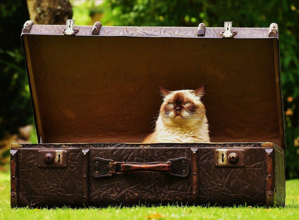 Gato adulto metido en una maleta con cara de pocos amigos