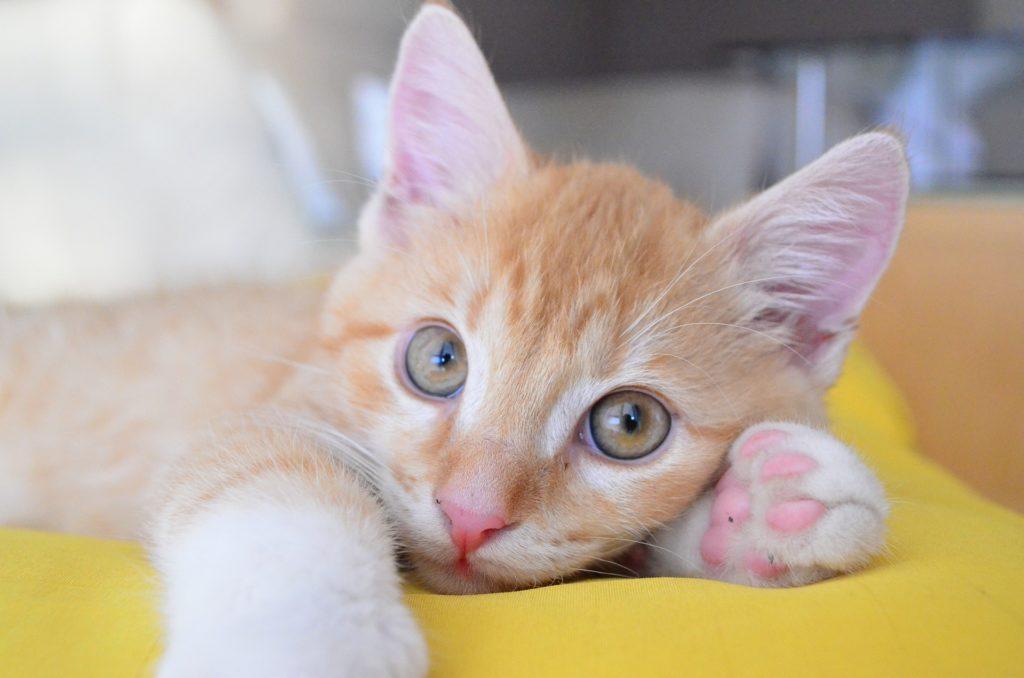 En la fase del celo anestro la gata estará en reposo